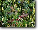 Stock photo. Caption: Blueberry, cranberry and club moss   near Wonder Lake Denali National Park Alaska -- united states america summer arctic alpine subalpine parks McKinley alaskan verdant mosses tundra berries berry bush edible plants plant fruit wild  native plants plant flowering blueberries cranberries cranberrys blueberrys closeup closeups