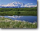 Stock photo. Caption: Cotton grass, tundra pond   and Mt. McKinley Alaskan Range Denali National Park, Alaska -- united states america Eriophorum scheuchzen mountains ponds mountain alaskan range summer mount parks tundra arctic landscape landscapes reflection reflections majestic travel tourist destination destinations