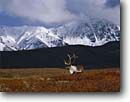Stock photo. Caption: Bull caribou and King