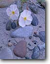 Stock photo. Caption: Pale evening primrose Marble Canyon Grand Canyon National Park Colorado Plateau, Arizona -- wildflower wildflowers flowers parks united states sand dunes world heritage site sites oenothera pallida america details closeup closeups sandy canyons desert deserts