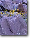 Stock photo. Caption: Brittlebush Conquistador Aisle Grand Canyon National Park Colorado Plateau, Arizona -- flowers wildflowers wildflower mojave mohave desert deserts closeup closeups detail details southwest southwestern united states america world heritage site sites canyons country red rock Encelia farinosa spring