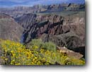 Stock photo. Caption: Brittlebush and the Colorado River   from the Tonto Plateau Grand Canyon National Park Colorado Plateau, Arizona -- united states america canyons landscape majestic rock country landscapes deep vista view views vistas sunny parks Encelia farinosa flower flowers wildflowers wildflower rivers plateaus parks sunny clear blue skies remote isolation