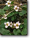 Stock photo. Caption: Canada violet,  Workman Creek Canyon Sierra Ancha Tonto National Forest Arizona -- wildflower wildflowers spring flower flowers detail details closeup violets closeups united states america blossom blossoms southwest southwestern sweet  Viola canadensis woodland