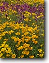 Stock photo. Caption: Mexican poppies and purple owl