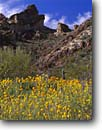 Stock photo. Caption: Mexican goldpoppy and Colter