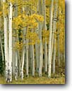 Stock photo. Caption: Aspens San Fransisco Peaks Coconino National Forest Colorado Plateau,  Arizona -- tree trees fall autumn color forests united states america colors  southwest southwestern white trunks pure purity pattern patterns
