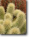 Stock photo. Caption: Teddy bear cholla and California  barrel cactus,  Palm Canyon Kofa National Wildlife Refuge Sonoran Desert, Arizona -- opuntia bigelovii cactus cactuses united states america southwest southwestern kofas spines spine sharp thorns thorny Ferocactus cylindraceus patterns pattern design designs closeup closeups detail details