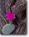 Stock photo. Caption: Beavertail pricklypear and catclaw Cactus Garden Anza-Borrego Desert State Park Sonoran Desert,   California -- united states Opuntia basilaris wildflower detail colorado deserts southwest southwestern wildflowers flowers cactuses parks america details closeup closeups blossom blossoms fuchia weathered mesquite mesquites artistic nature blooming