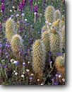 Stock photo. Caption: Teddy bear cholla, fern-leaf phacelia   and Esteve