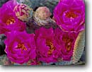 Stock photo. Caption: Beavertail cactus Henderson Canyon Anza-Borrego Desert State Park San Diego County,  California -- united states Opuntia basilaris wildflower detail sonoran colorado deserts wildflowers flowers cactuses parks america detail details closeup closeups pink fuchia bloom blooming blooms spring cactuses