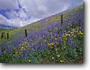 Stock photo. Caption: Lupines and California coreopsis Tehachapi Mountains   near Gorman Los Angeles County,   California -- united states america landscape landscapes solitude field flowers flower wildflower wildflowers orange idyllic harmony emotion soft sweet picturesque lupine   spring californica fence fences hillside