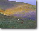 Stock photo. Caption: Lupines and California coreopsis near Gorman, Old Post Road Tehachapi Mountains  Los Angeles County,   California -- united states america flower flowers wildflower wildflowers bloom blooms spring fields lupine lupinus colorful purple spring field abundant abundance  californica horses horse animal animals livestock grazing simple serene quiet rolling hills foothills