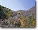 Stock photo. Caption: Lupines, phacelia & California poppies   near Gorman, Old Post Road Tehachapi Mountains  Los Angeles County,   California -- Keywords: united states america flower flowers wildflower wildflowers people hiking hike trail trails bloom blooming clear skies blue skies spring walking walker  meadows outdoor recreation landscape landscapes lupine poppy Eschscholzia californica hiker hikers