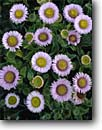 Stock photo. Caption: Seaside daisy Big Sur Coast Monterey County California -- united states america wildflower wildflowers coastal flower flowers Erigeron glaucus round daisies spring bloom blooming blooms disk disks closeup closeups detail details