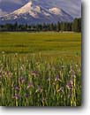 Stock photo. Caption: Western blue flag iris  on the shore of Grass Lake Mt. Shasta, Cascade Range California -- united states america marsh marshes peak peaks snow capped fog summer highway 97 siskiyou county mountain mountains volcano volcanos volcanoes inactive flowers wildflowers wildflower majestic missouriensis wetland wetlands iriseslandscape landscapes