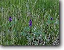 Stock photo. Caption: Arroyo lupine   near Painted Rock Carrizo Plain National Momument San Luis Obispo County,  California -- wildflower wildflowers foothill united states america floral meadow meadows spring central valley sacramento valleys meadow meadows grassland grasslands Lupinus succulentus patterns pattern lacy lacey soft closeup closeups detail details lupines