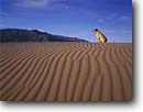 Stock photo. Caption: Rippled sand and labrador dog Mesquite Flat Dunes Death Valley National Park Mojave Desert,  California -- Keywords: united states america landscape landscapes dog dogs parks rippled patterns pets companion western retriever yellow