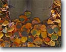 Stock photo. Caption: Autumn aspen leaves   and tree trunk Inyo County Bishop, California -- Keywords: united states america  sierras tree trunk leafs leaf pattern patterns background backgrounds soft closeup closeups