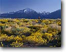 Stock photo. Caption: Venus blazing star and mountain biking   below Mt Tom,  Volcanic Tablelands Owens Valley, Inyo National Forest Sierra Nevada,  California -- Keywords: united states america people outdoor recreation biker bicycle bicycles trail trails bike cross country crosscountry extreme freedom solitude excitement flower flowers wildflower wildflowers field spring sierras bicyclist bicycler sport sports