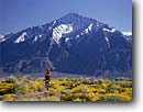 Stock photo. Caption: Venus blazing star and mountain biking   below Mt Tom,  Volcanic Tablelands Owens Valley, Inyo National Forest Sierra Nevada,  California -- Keywords: united states america people outdoor recreation biker bicycle bicycles trail trails bike cross country crosscountry extreme freedom solitude excitement flower flowers wildflower wildflowers field spring sierras bicyclist bicycler helmet sport sports