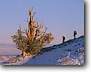 Stock photo. Caption: Bristlecone pine Ancient Bristlecone Pine Forest Inyo National Forest White Mountains, California -- country sierras people highcountry  outdoor hiker hikers enduring old trees tree pines ancient rugged forests winter landscape landscapes bristlecones timeless united states america