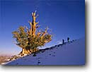 Stock photo. Caption: Bristlecone pine Ancient Bristlecone Pine Forest Inyo National Forest White Mountains, California -- Keywords: country sierras people highcountry  outdoor hiker hikers enduring trees tree pines ancient rugged forests winter landscape landscapes bristlecones timeless clear skies sky sunny day days united states america scenic scenics