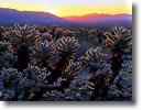 Stock photo. Caption: Teddy bear cholla at sunrise Cholla Garden Joshua Tree National Park Mojave Desert, California -- mohave sunrises parks chollas cactus cactuses deserts prickly thorny thorns spine spines spring Opuntia bigelovii backlight backlit ethereal spiritual cosmic balance peaceful breathtaking danger solitude landscapes landscape deserts