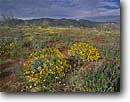 Stock photo. Caption: Brittlebush and Arizona lupine Cottonwood Wash Joshua Tree National Park Mojave Desert,  California -- Keywords: united states parks mohave sky america trees flowers flower wildflower wildflowers landscape landscapes deserts blooming tree mountains Encelia farinosa Lupinus arizonicus lupines bloom clouds unusual spring