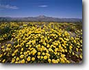 Stock photo. Caption: Desert dandelion below Pinto Mountain Pinto Basin Joshua Tree National Park Mojave Desert,  California -- united states parks mohave sky america trees Malacothrix glabrata flowers flower wildflower wildflowers landscape landscapes deserts blooming tree mountains spring