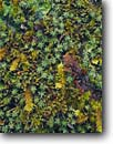 Stock photo. Caption: Moss detail,  Clear Creek Trail Siskiyou Wilderness Siskiyou Mountains Klamath National Forest,  California -- united states america forest floor mosses wildernesses detail details woodland closeup closeups liverwort liverworts
