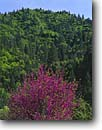 Stock photo. Caption: Redbud in Crystal Creek Canyon Whiskeytown National Recreation Area Trinity Mountains Shasta County,  California -- united states america spring shrub areas forest forests red flowering northern mountain trinities mountain landscape landscapes redbuds areas