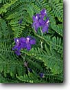 Stock photo. Caption: Coast blue larkspur and bracken fern Point Reyes National Seashore Marin County California -- flower flowers wildflowers wildflower closeup closeups detail details united states america lacey lacy pattern patterns design background backgrounds Delphinium decorum summer ferns larkspurs delphiniums seashores coast coastal