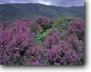 Stock photo. Caption: Heather on coastal hills Mount Tamalpais State Park Marin County California -- united states america landscape landscapes coast coasts west parks ridges summer vista vistas views scenic flowers flower heathers pink purple clouds cloud spring