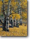 Stock photo. Caption: Aspens line Green Creek Meadows Toiyabe National Forest Sierra Nevada California -- tree trees fall autumn color forests united states america mountain colors pastel pastels aspen yellow soft light forests mountains artistic nature trunk trunks grove groves eastern