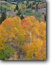 Stock photo. Caption: Aspens and Jeffrey pines Little Walker River Valley Toiyabe National Forest Sierra Nevada,  California -- Aspen fall autumn color colors mountain mountains cold crisp united states america sierras eastern