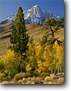 Stock photo. Caption: Aspens, Jeffrey pines and Mt. Morrison Inyo National Forest Sierra Nevada,  California -- snow fresh cold tree trees peak peaks mountain mountains landscape landscapes united states america aspen sierras autumn fall color eastern pine