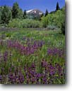 Stock photo. Caption: Meadow penstemon South Fork Bishop Creek Canyon Inyo National Forest Sierra Nevada,  California -- united states wildflower forests  wildflowers flower flowers mountain america details purple meadows highcountry summer rydbergii sierras eastern mountains penstemons
