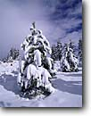 Stock photo. Caption: Jeffrey pines Mammoth Lakes Inyo National Forest Sierra Nevada, California -- united states america landscape landscapes solitude highcountry mountains sierras isolation isolated peace peaceful harmony winter snow snowy deep tree trees frosted covered laden pine with deep