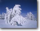 Stock photo. Caption: Rime ice on conifers Mammoth Lakes Inyo National Forest Sierra Nevada, California -- united states america landscape landscapes solitude highcountry mountains sierras isolation isolated peace peaceful harmony winter snow snowy deep tree trees frosted covered laden pine with deep  hoarfrost frosty frost blue sky skies