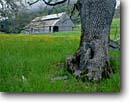 Stock photo. Caption: Oregon white oak Humboldt County North Coast Ranges California -- oaks tree trees wire united states america ranches barns fence fences pasture pastures pastureland pasturelands pastoral ranch spring rural barn