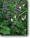 Stock photo. Caption: Lupine and coast manroot Coastal Drive Redwood National Park Del Norte County,  California -- united states wildflower detail forests wildflowers flowers america details closeup closeups wild cucumber flower vine vines coastal cucumbers lupines