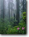Stock photo. Caption: Western rhododendron & coast redwoods Last Chance Trail Del Norte Coast Redwoods State Park California -- redwood trees tree rhododendrons pacific macrophyllum sequoia sempervirens foggy misty spring united states america flowers wildflower wildflowers parks ancient wet purity balance virgin old growth forest forests ancient snag world heritage site sites