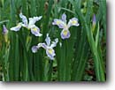 Stock photo. Caption: Douglas iris Lady Bird Johnson Grove Redwood National Park Humboldt County,  California -- spring united states america flowers wildflower wildflowers parks ancient wet purity balance virgin old growth forest douglasiana world heritage site sites woodland irises
