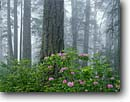Stock photo. Caption: Western rhododendron Redwood Creek forest Redwood National Park Humboldt County, California -- united states america trees forests redwood pacific sequoia sempervirens dedicated groves parks world heritage site sites landscape landscapes strength ancient forest rhododendrons blooming spring