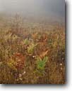 Stock photo. Caption: Bracken ferns in late summer fog Gans Prairie,  Bald Hills Road Redwood National Park Humboldt County  California -- prairie prairies grassland grasslands parks united states america morning mist world heritage site sites moody landscape landscapes rain rainy fern harmony foggy brachens foggy fall autumn color colors colour colours orange