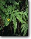 Stock photo. Caption: Common monkeyflower blossom and five-fingered fern, Fern Canyon Prairie Creek Redwoods State Park Humboldt County,  California -- spring united states america parks ancient floor woodland plants native  flowers wildflowers wildflower flower Mimulus guttatus ferns five finger streamside world heritage site sites closeup closeups detail details