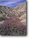 Stock photo. Caption: Desert sand verbena Box Canyon Road Mecca Hills Mojave Desert,  California -- Keywords: united states america flower flowers wildflower wildflowers bloom blooms spring purple spring field mohave blooming great basin Abronia villosa deserts blooming wash canyons sunny blue sky skies