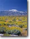 Stock photo. Caption: Brittlebush in Coachella Valley   and San Jacinto Peak Colorado/Sonoran Desert California -- united states parks america flowers flower wildflower wildflowers landscape landscapes deserts blooming mountains Encelia farinosa bloom  unusual spring wash mountain snow capped covered fields yellow abundant abundance clear sky blue sky skies spring