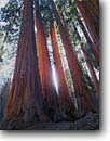 Stock photo. Caption: The Senate Group Congress Trail, Giant Forest Sequoia National Park Sierra Nevada, California -- united states america landscape landscapes sierras backcountry  trees sequoias sequoiadendron gigantea strength stong ancient forests durable evolution large parks grove groves tree roots travel destination destinations family vacation