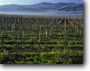 Stock photo. Caption: Vineyard Salinas Valley South Coast Ranges Monterey County,  California -- wine country rural crops grape grapes agriculture vine countryside beauty farming farm united states america rural pastoral bountiful central vineyards